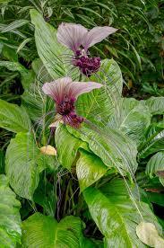 white batflower princeville botanical
