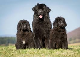 Newfoundland - Breed Profile ...