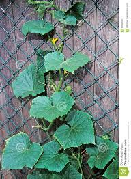 Cucumber Climbing Fence Stock Image Image Of Response 66596639