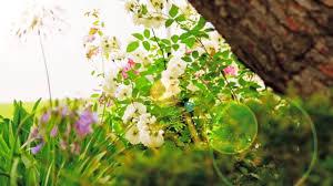 مشاهد للمونتاج طبيعة زهور ورد Hd Video Background Youtube