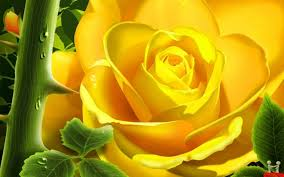 superb yellow rose beautiful wallpaper