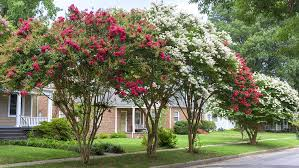 How To Prune Crape Myrtles (Without Totally Destroying Them ...