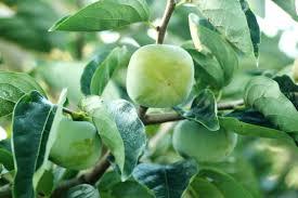 柿渋はワキガに効果があるの?柿タンニンの消臭・除菌・抗菌作用で脇のニオイケア | webseeya