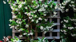 Star Jasmine Strange Seeds And How To Care For This Climbing Plant Homes To Love