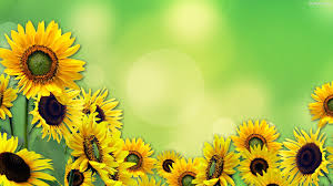 sunflower background wallpapers 31966