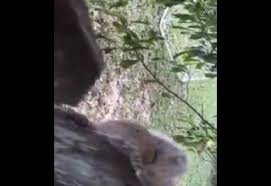 So Uh This Squirrel Got His Balls Stuck In A Fence Ouch Video