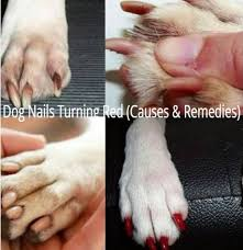 dog nails turning red causes