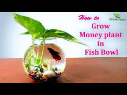 how to grow money plant in fish bowl