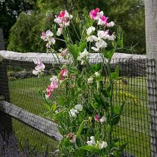A Beginner S Guide To Growing Sweet Peas White Flower Farm S Blog