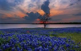2 texas bluebonnets hd wallpapers