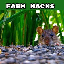 farm hacks how to deter rats using