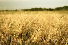 """Резултат с изображение за """"нива за жетва"""""""