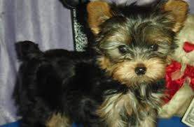 tiny yorkie blessings houston tx