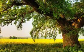oak tree wallpapers top free oak tree