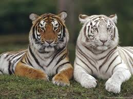 white tigers wallpaper desktop background