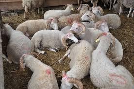 safranboluhayvan pazarı ile ilgili görsel sonucu