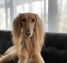 saluki | Dog breeds, Saluki, Greyhound