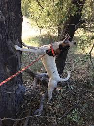 For Sale - Walker Hound Started Dog ...