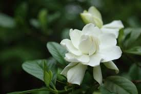 why your gardenia has yellow leaves