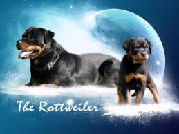rottweiler dogs hd wallpapers free hd