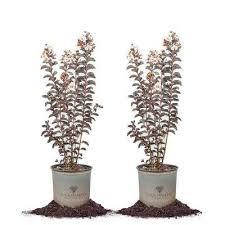 Crepe Myrtle - Shrubs & Bushes - Plants & Garden Flowers - The ...