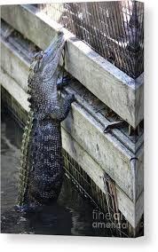 Alligator Climbing Fence Canvas Print Canvas Art By Paulette Thomas