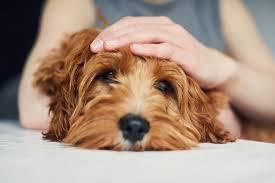 7 home remes for dog dandruff care com