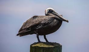 Pelican Perch Photograph by Thelma Johnson
