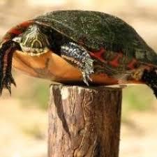 Fence Post Turtle Wordpressturtle Twitter