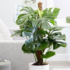 large 80cm swiss cheese plant