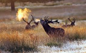 bull elk wallpapers top free bull elk