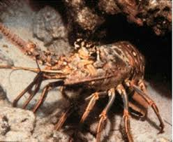 Lobster: spiny (rock lobster)