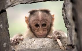 تحميل خلفيات القرد الصغير صورة الحيوانات لطيف الحياة البرية