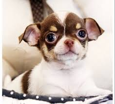 teacup chihuahua best