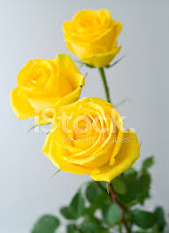 Beautiful Yellow Roses Hd Wallpapers | Roses Gallery