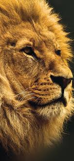 national geographic nature lion