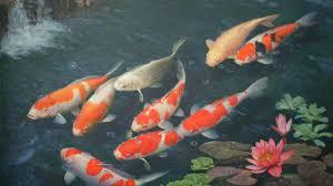 koi fish wallpaper hd koi fish