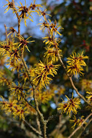 hd wallpaper witch hazel bush