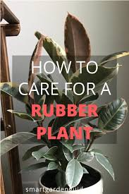 care for a rubber plant ficus elastica