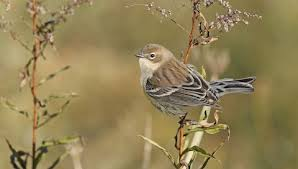 Yellow-rumped Warbler - Media Search - eBird and Macaulay Library