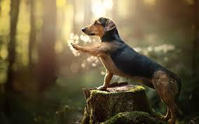 150 unique dachshund wallpaper ideas