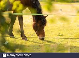 Horse Feeding In Paddock Through Electric Fence April 2020 Stock Photo Alamy