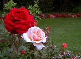 ورد وزهور جميله