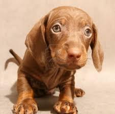 cute dachshund puppy photo and