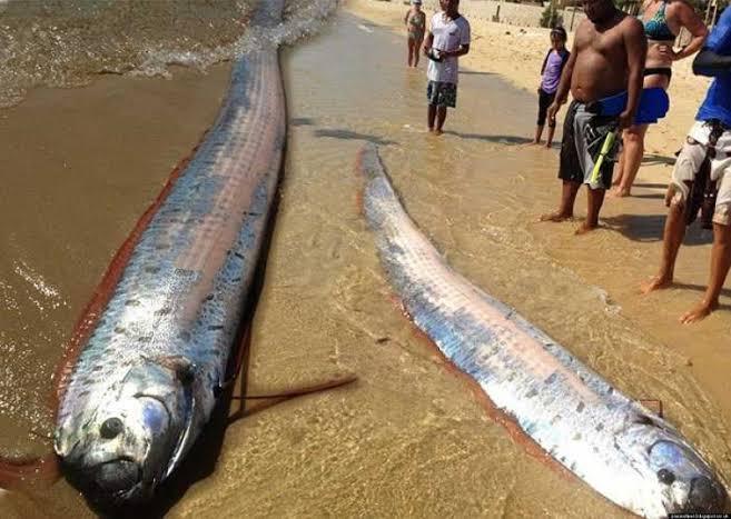 ikan oarfish habitat
