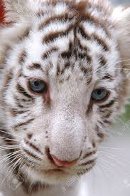 baby white tiger close up stock photo