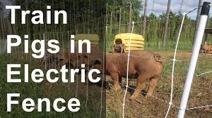Train Pigs Into Electric Fence Youtube