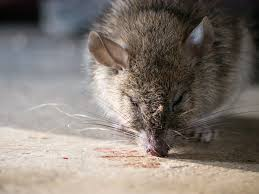 homemade mouse poison baking soda how