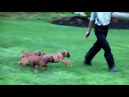 Boxer Puppies For Sale Ivan Fisher - YouTube