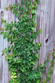 Fig Ivy Garden Vines Fence Landscaping Plants